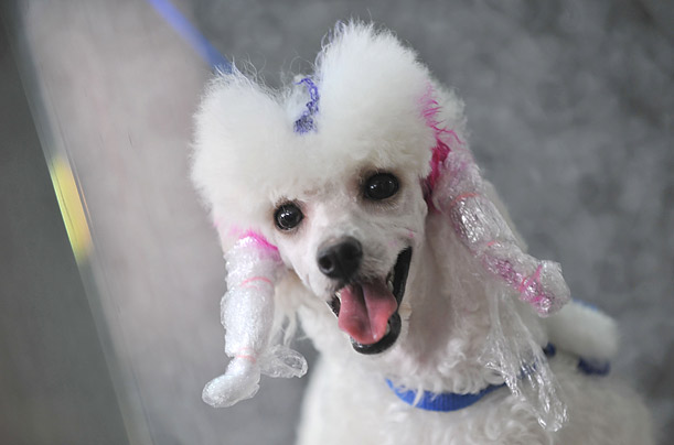 Color My Dog Chinese Dog owners make over their best friends just in time for the summer to hit in Wuhan, China