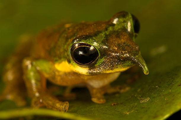New Critters in New Guinea: Long-Nosed Tree Frog