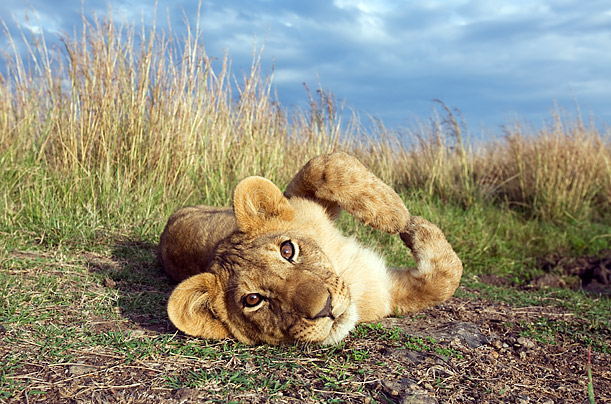 The Animals of Kenya: African Lion Cub