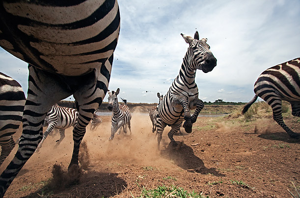 The Animals of Kenya: Plains Zebra