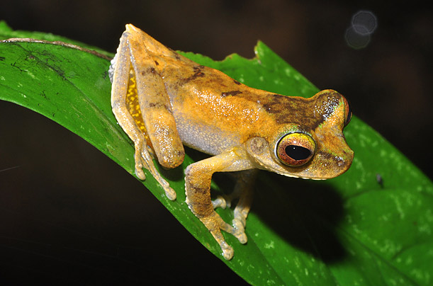 Papua New Guinea' s Newly Discovered Species   A group of scientists discover 200 new species of frogs, rodents, and other critters