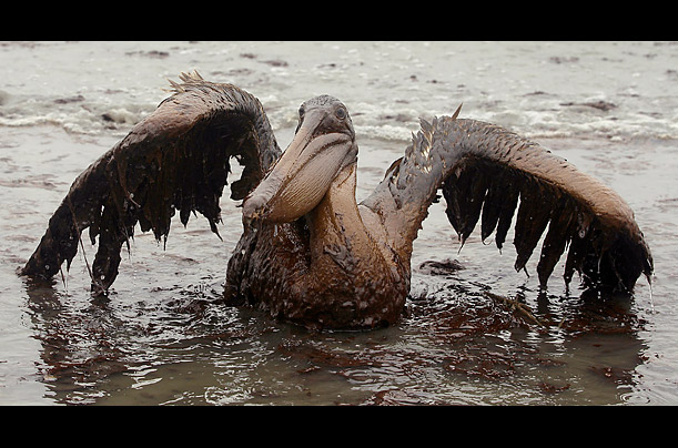 Victims of the BP Oil Spill Photographer Charlie Riedel discovered several birds covered in on a beach at East Grand Terre  Louisiana, from the leaking British Petroleum well in the Gulf of Mexico