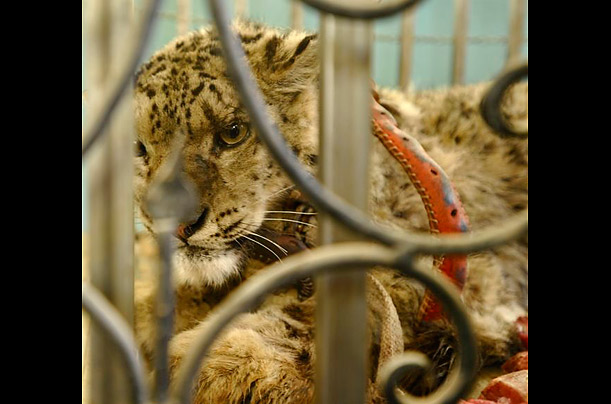 afghanistan Afghan Tragedy: Death of a Snow Leopard A rare and beautiful creature is rescued, but then lost