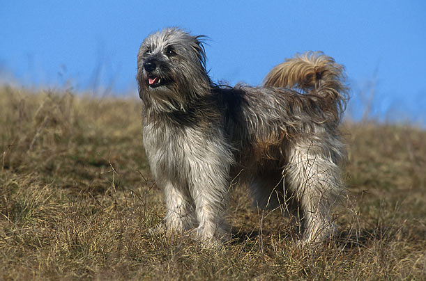 Pyrenean shepherd (2010)