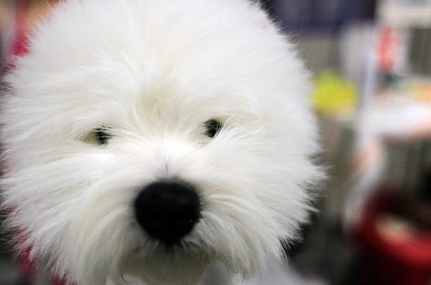 The 134th Westminster Kennel Club Dog Show