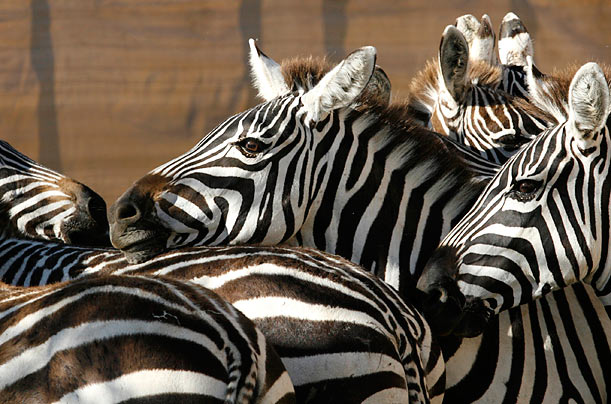 Relocating Thousands of Zebras in Kenya