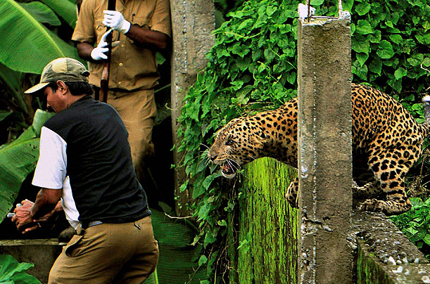 Escaped Leopard