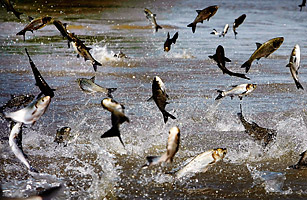 asian carp thesis statement