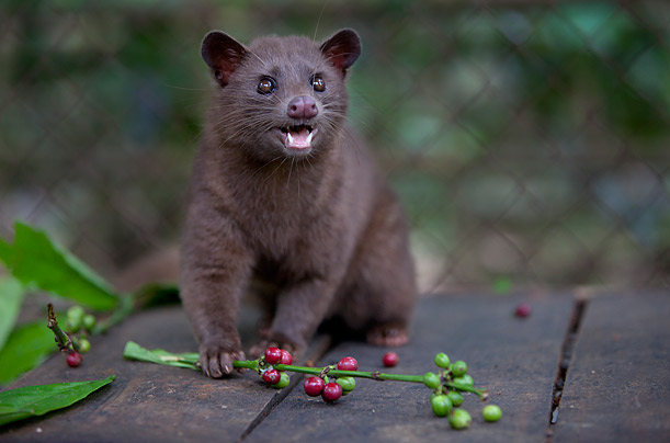Kopi Luwak: The World's Most Expensive Coffee<br />The secret ingredient of this unique coffee comes from the dung of Asian Palm Civets