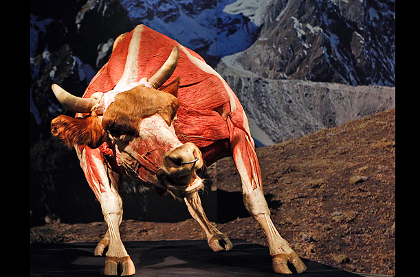 essay on plastination Exhibit essay review: faux reality show the body worlds phenomenon and its reinvention of anatomical spectacle.