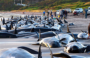 pilot whales essay The whaling and whale watching industry tourism essay the main objective of this essay is to further discuss whale whales, sperm whales, short-finned pilot.