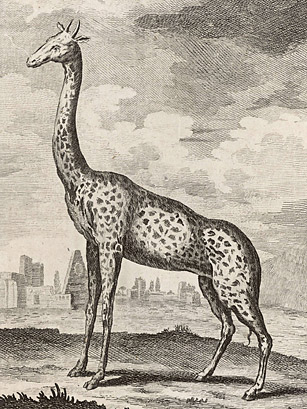 giraffes essay example Read this science essay and over 88,000 other research documents giraffes the word giraffe comes from the arabic word, zirafah, meaning the tallest of all the giraffe is the.