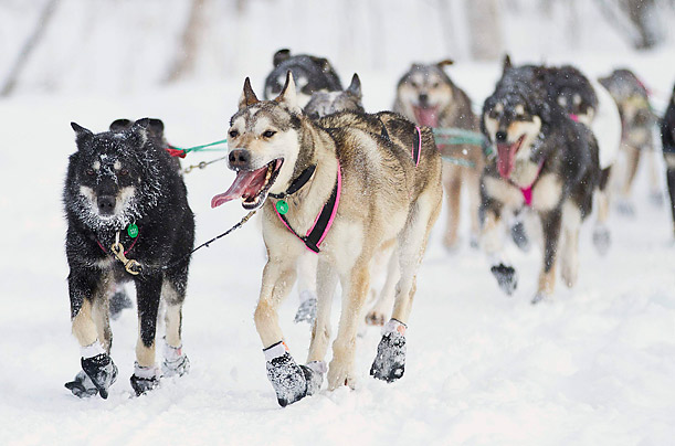 Iditarod Trail Sled Dog Race, Alaska