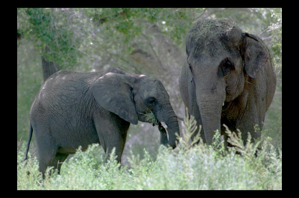 Elephants snooze just four hours a day�mostly while standing up