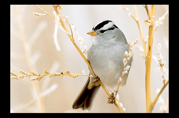 This  White-Crowned Sparrow sleeps much less during its annual migration, but that doesnt seem to affect its flying