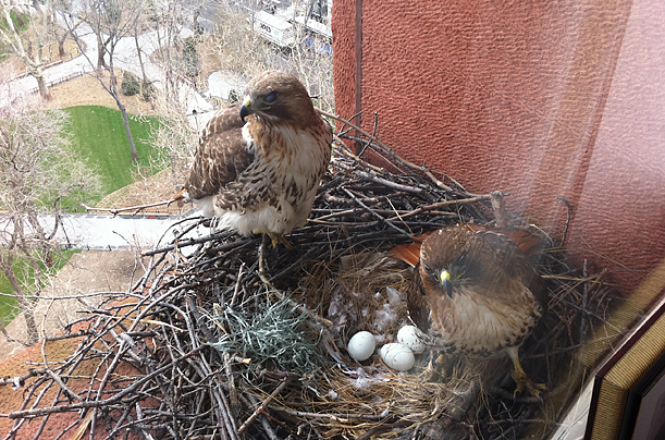Baby hawk bird - photo#15