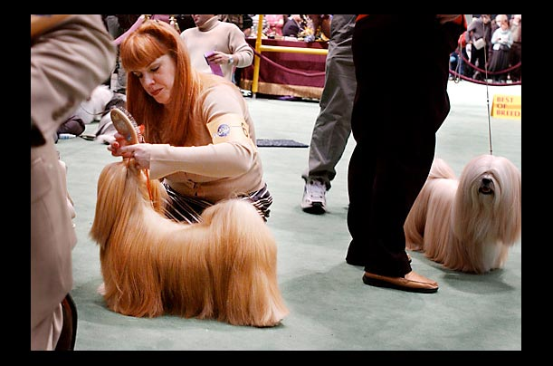 The handler of a Lhasa Apso primps her dog