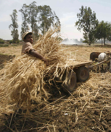 Farmers collect wheat in a rural area north of Cairo May 19, 2008. Analysts said prices for wheat, rice and other staple food consumed across the globe could rise if supplies are disrupted by weather.
