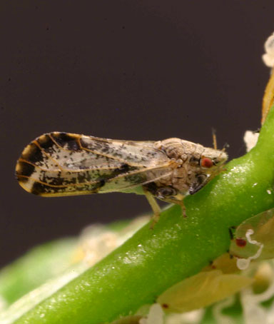 The Asian citrus psyllid is seen in this University of Florida photo provided by the University of California, Davis