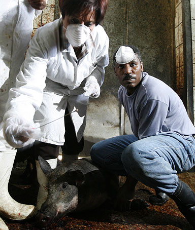 Egyptian veterinarians take a mucus sample from a pig in a Cairo slaughterhouse on April 30, 2009.