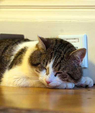 A tabby cat named Larry sleeps in a room at number 10 Downing Street in London February 15, 2011