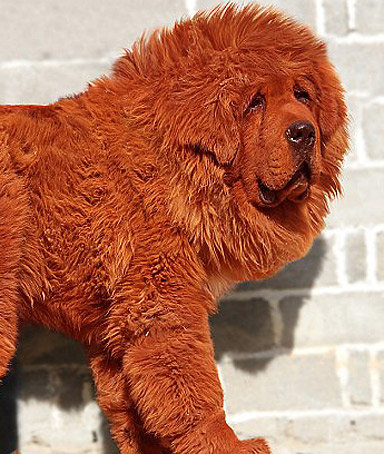LU LIANG breeder of Big Splash, a red Tibetan Mastiff puppy, who sold ...