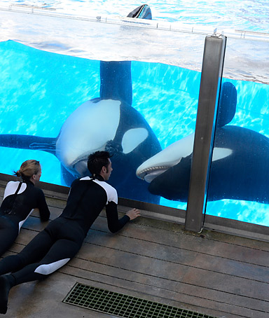 Participating in shows is just a portion of Tilikum's day, but we feel it is an important component of his physical, social and mental enrichment.