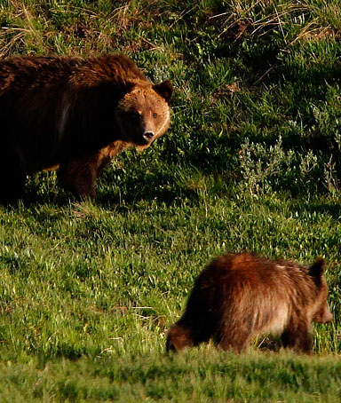A grizzly bear and her two cubs are pictured in the Hayden Valley in Yellowstone National Park, Wyoming, in this June 24, 2011 file photo.