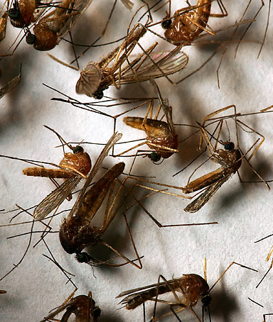 A field sample of mosquitoes that could carry West Nile Virus is seen at offices of the Riverside County Department of Environmental Health on April 26, 2007.