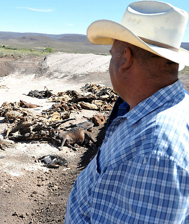 A cattle herder looks at a pile of dead cows in the arid zone of Santa Clara, Mexico, 26 January 2012, a region severely affected by a drought that has killed some four thousand cows for lack of water and food.