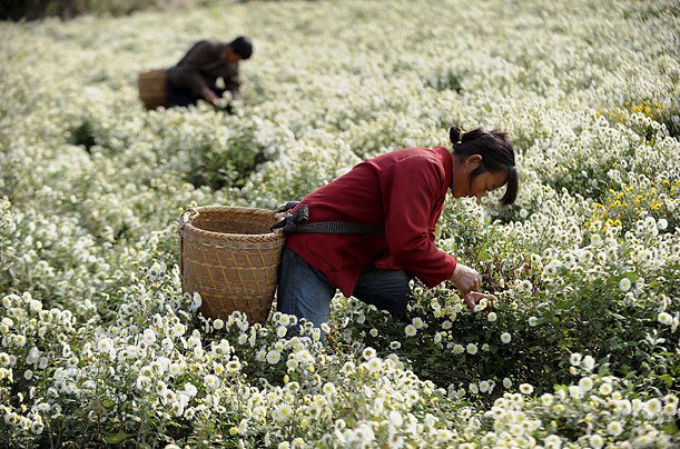 Workers collect chrysanthemums on a mountain area in Xiuning county in Anhui province, China