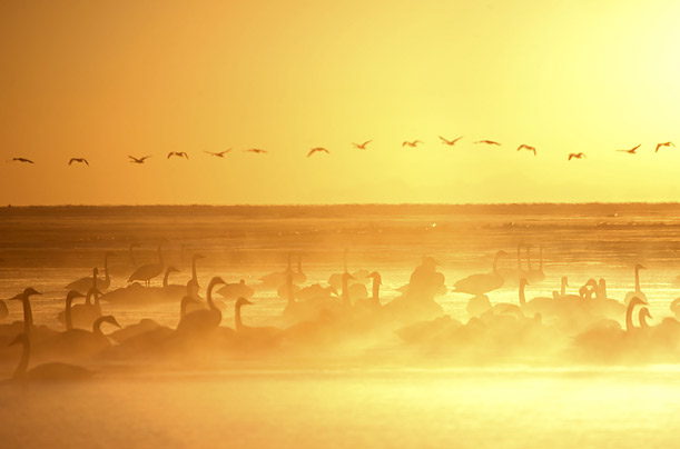 Whooper Swans rest on Qinghaihu Lake in Qinghai Province, China.