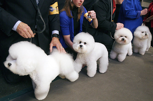 Handlers of Bichons Frises wait before competing during the first day of the 2009 Westminster Dog Show in New York.