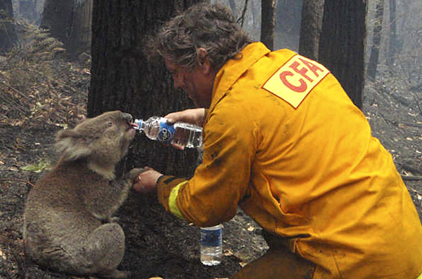 Local firefighter David Tree shares his water with an injured Australian Koala at Mirboo North after wildfires swept through the region on Monday.