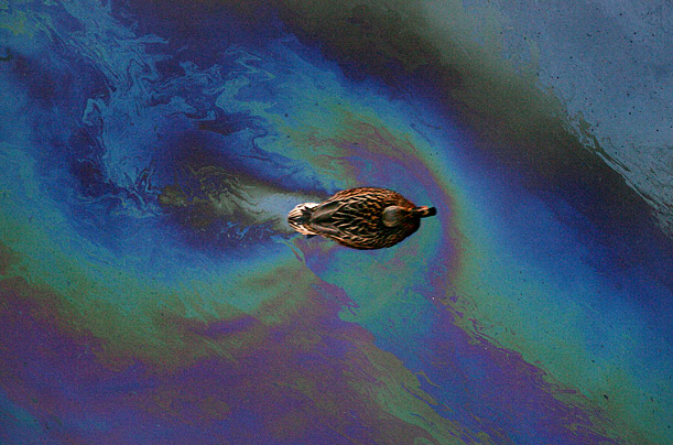 A duck swims through the oily-waters of the Moskva river in central Moscow.