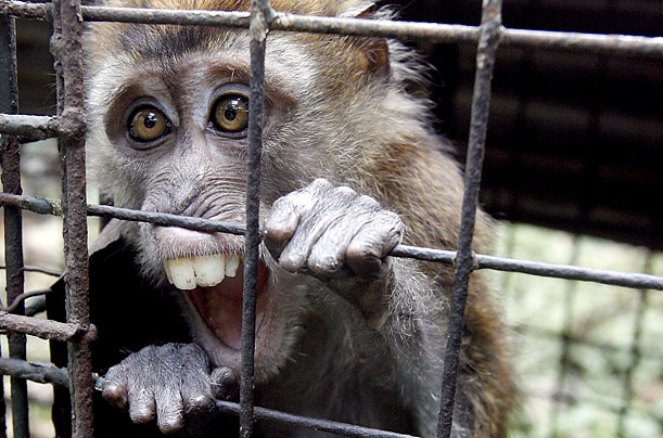 The Philippine Long-Tailed Macaque, an endangered species, is held at a wildlife rescue center in suburban Quezon City, Philippines.