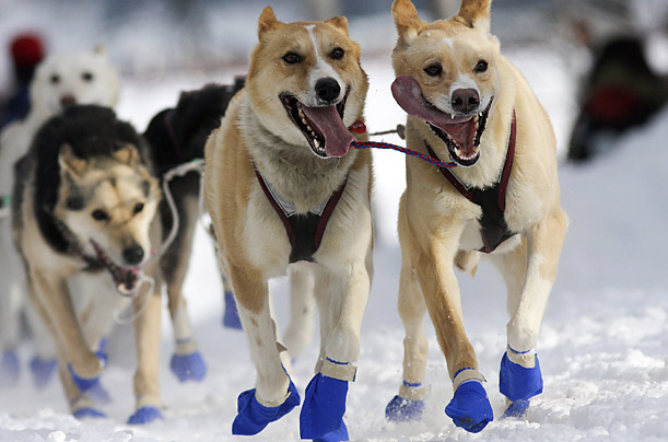 A team of sled dogs pounds through the snow during the 37th Iditarod Race in Alaska.