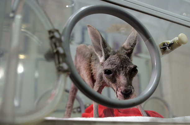 A baby kangaroo named Tijana, abandoned by her mother, peers from the incubator in the Belgrade zoo.