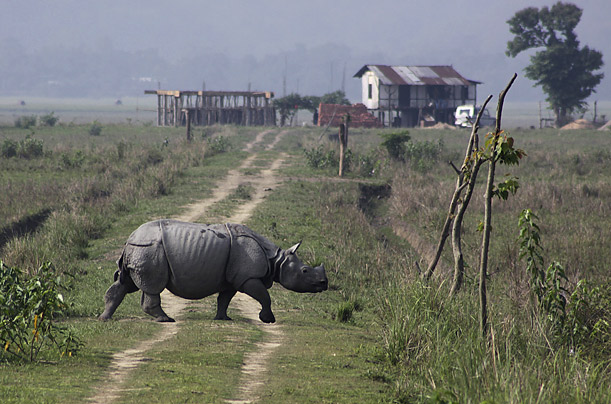 A one-horned rhinoceros is seen during the rhino census in the Pobitora wildlife sanctuary, 34 miles east of Gauhati, India.