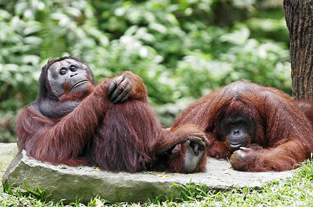 Orangutans rest at the Singapore Zoo. Their wild counterparts are highly endangered due to destruction of their rainforest habitats and poaching.