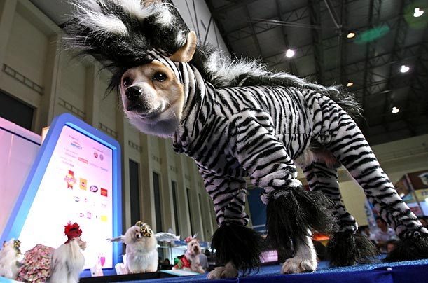 A model from the Thailand International Dog Show presents the latest in doggy fashion.
