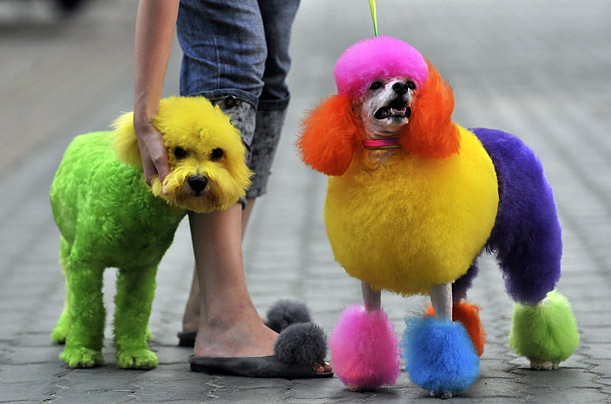 A woman walks with a bichon frise and a poodle both colored with various dyes on a street in Wuhan, Hubei province, China.