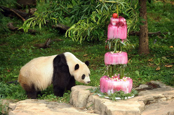 Giant panda Tai Shan inspects his birthday cake (made of water, bamboo, shredded beets and beet juice), at the Smithsonian National Zoological Park in Washington DC.
