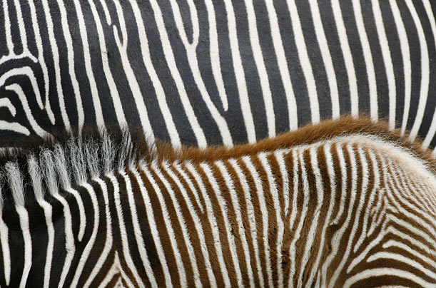A young zebra stands next to her mother at the Berlin zoo.