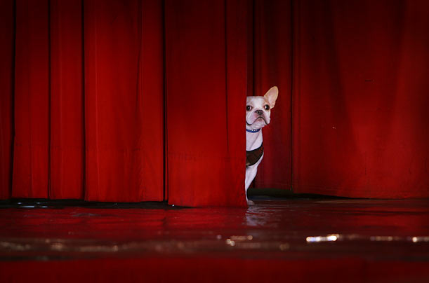A French Bulldog peers out from behind the stage curtain before modeling in a dog fashion show in Taipei.