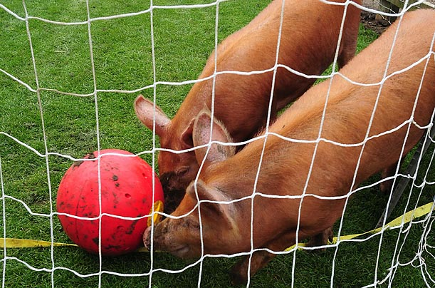Pigs play soccer at the Woodside Falconry and Conservation Center near Lincoln, England.