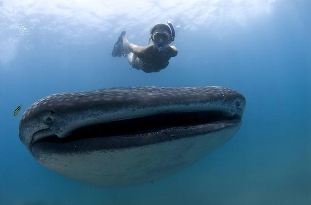 A 40-foot whale shark and a brave snorkler swim off the South African coast. Although its huge mouth is big enough to swallow a person whole, the whale shark prefers to feed on tiny plankton.