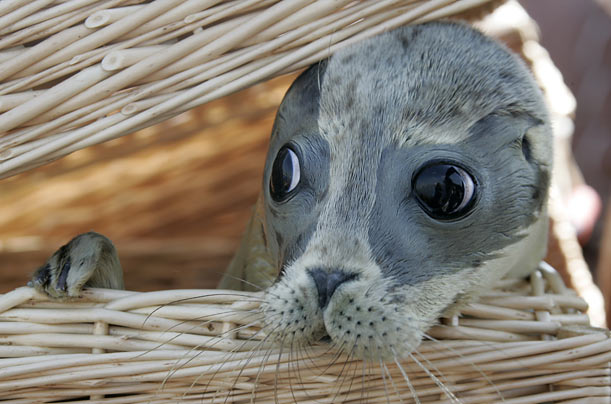 A seal pup raised at a seal research station in Norddeich, Germany pops its head out of a basket.