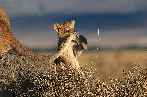A cub takes a playful bite of a relative's swishing tail in the African plains.