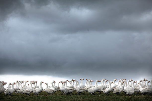A flock of geese, bound for Christmas market, graze at a free-range farm in Shrewsbury, England.